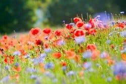 Top 10 des fleurs à semer