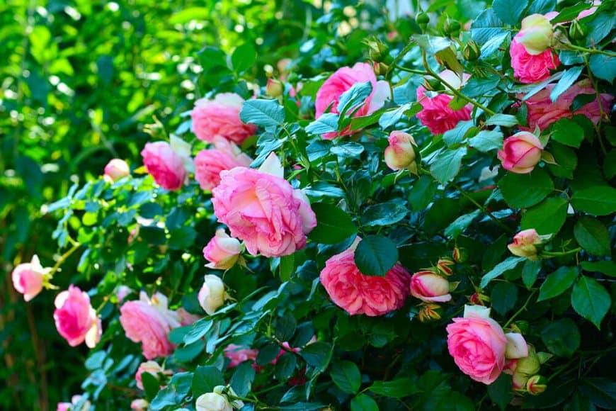 Dites-le avec des roses… à replanter !