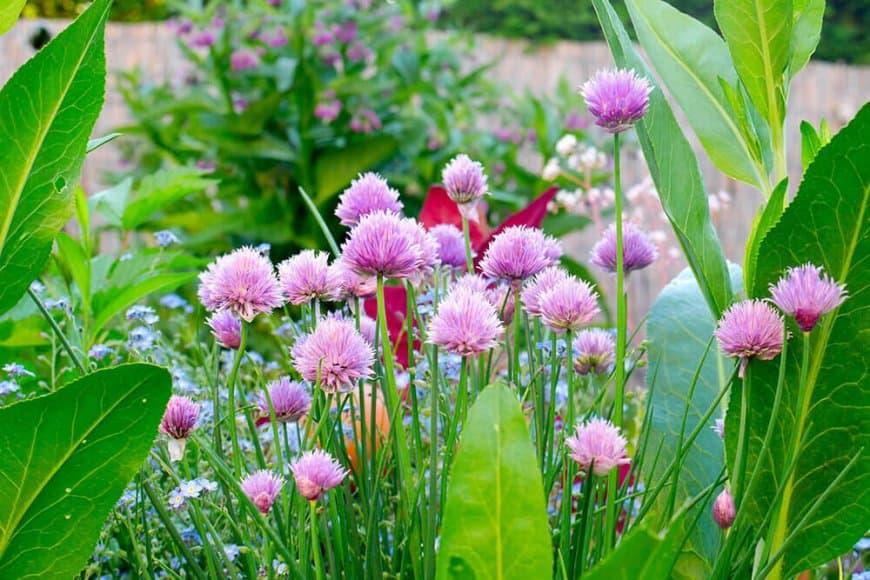 La ciboulette, quelle belle plante !