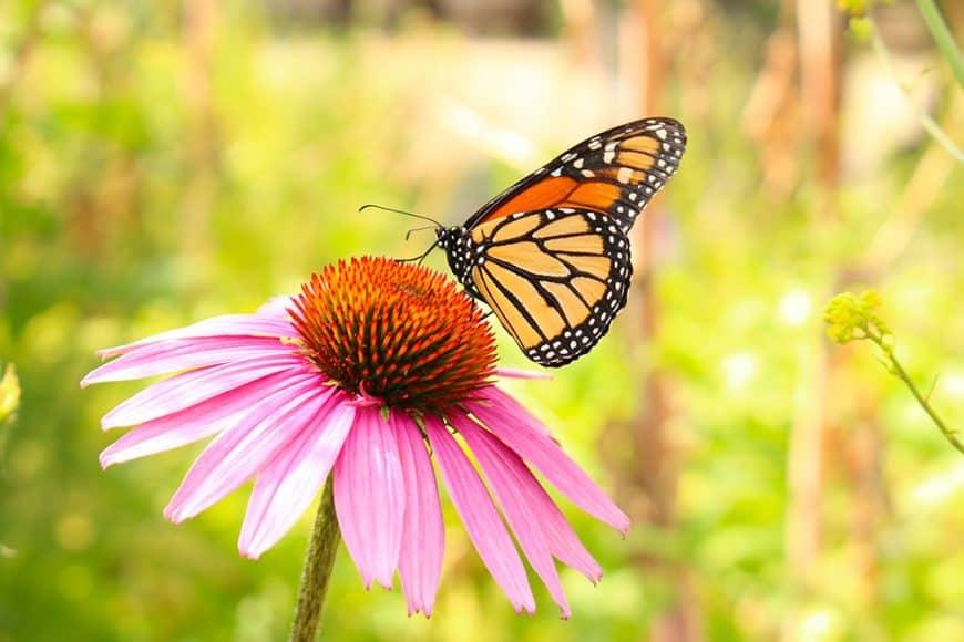 12 vivaces pour attirer les papillons au jardin !