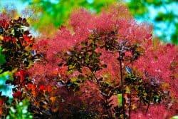 Un arbre « à perruques » dans mon jardin ?!