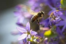 Le vol nuptial des abeilles