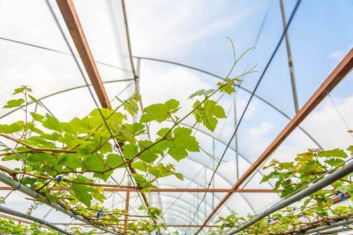 Et si vous osiez une vigne dans votre serre?