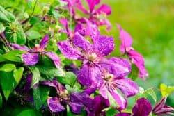 Une plante à vrilles : la clématite