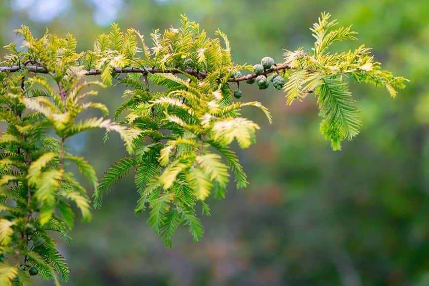 Le Metasequoia glyptostroboïdes