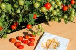 En serre, récoltez des semences pour l'année prochaine